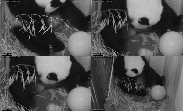 Panda cub born at US National Zoo