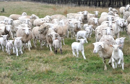 Fresh lamb lifts market