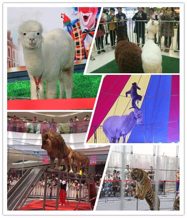 四川省盐边县海狮表演出租暖场成功案例海狮表演:为游人演出的是产于