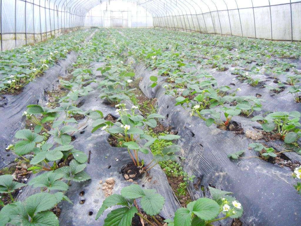 高县大棚草莓苗草莓种子盆栽种植方法